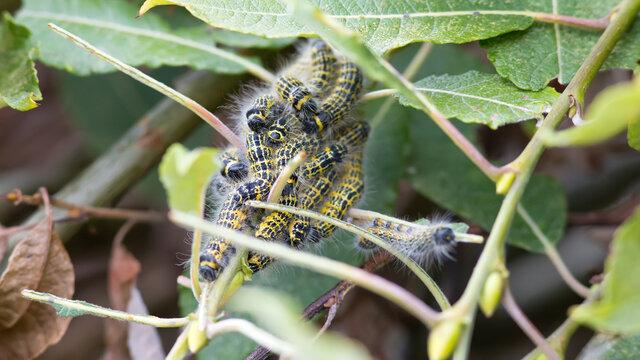 Buff-tip (Phalera bucephala) caterpillars eating leaf