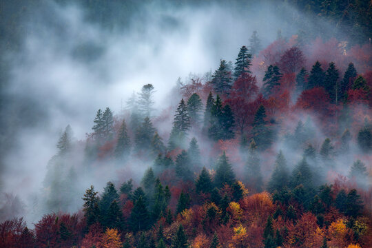 Dense morning fog in alpine landscape with fir trees and mountains.