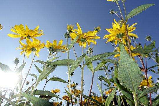 gelbe Blüten des Topinambur (Helianthus tuberosus) im Garten - Blick von unten