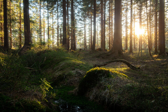Spruce forest full of light. Positive scene from real nature.