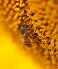 Fototapeta Close-up of a bee on a sunflower. obraz