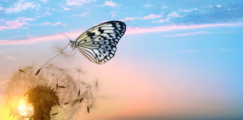 Fototapeta Beautiful butterfly and delicate fluffy dandelion at sunset. Banner design obraz