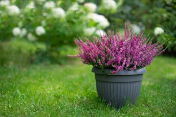 różowe wrzosy w doniczce, kompozycja ogrodowa