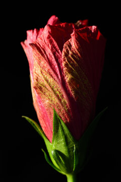 Close up of a closed red hibiscus flower growing in portrait format against a dark background