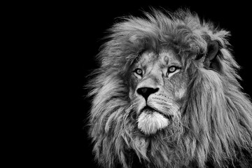 Obraz Lion king isolated on black , Portrait Wildlife animal - fototapety do salonu