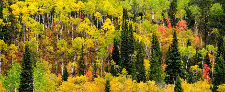 Forest Forrest Aspen Birch Pine Wild Wilderness Mountains
