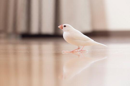 白文鳥のオス