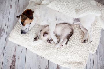 Fototapeta Dog and cat sleeping together obraz