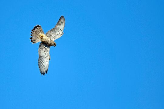 Common kestrel - female // Turmfalke - Weibchen (Falco tinnunculus)
