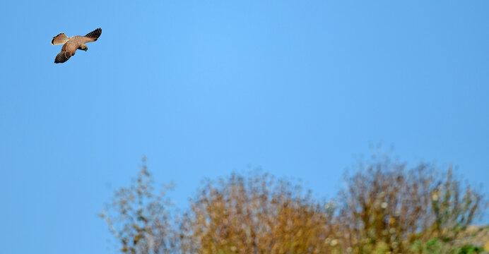 Common kestrel // Turmfalke (Falco tinnunculus)