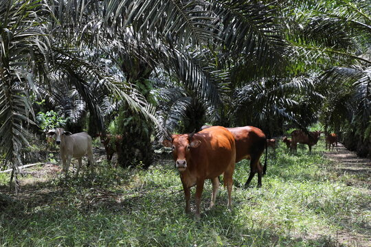Cows are bred at an oil palm plantation to reduce the weeds, in Slim River