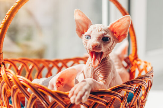 Canadian sphynx kitten yawning sitting in basket with other cats on window sill. Funny pet opens mouth showing tongue