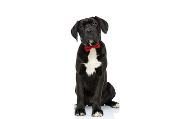 Fototapeta beautiful cane corso dog with red bowtie sitting and looking up obraz