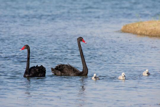 An introduced Black Swan pair with three cygnets (Cygnus atratus) swimming in Al Qudra Lake in Dubai, UAE.