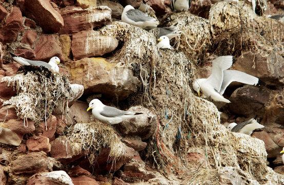 seagulls nests on Dunbar rock near harbour