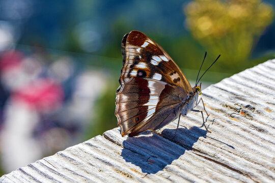 Großer Schillerfalter - Schmetterling - seitlich - Detail - Flügel