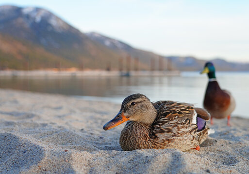 A male duck and female duck on the sand on the shore of Lake Tahoe, Nevada