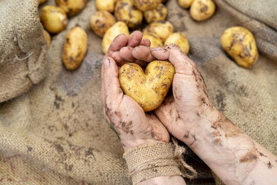 Frische Kartoffelernte mit Herz.