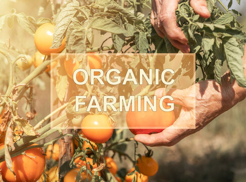Organic farming text over farmer hands picking ripe tomatoes.