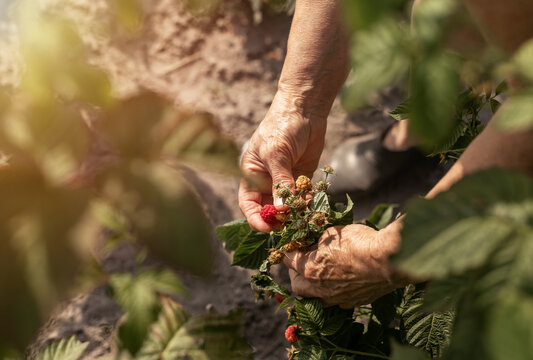Farmer hands picking raspberries from garden bush. Red ripe fresh berry on branch close up.
