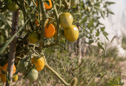 Green and yellow unripe tomatoes growing on branch in garden.