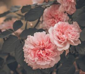 Piękne tło z różami ogrodowymi w pełnym rozkwicie, delikatne, stonowane kolory