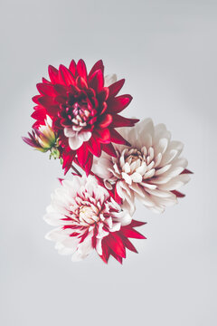 Bunch of red and white dahlias