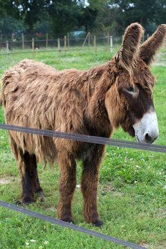 cute long-hair regional donkey posing in his green meadow