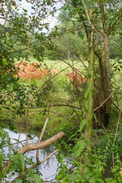 herd of quiet brown cows hidden behind trees and water