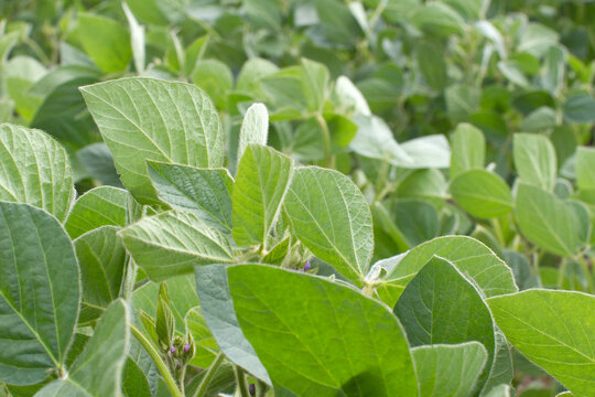 organic soya bean plants for natural carbohydrates in field, France