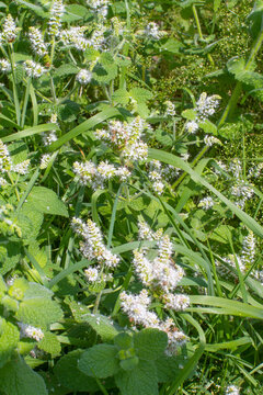 flowers of water mint or Mentha Aquatica for Lamiaceae pollinisation