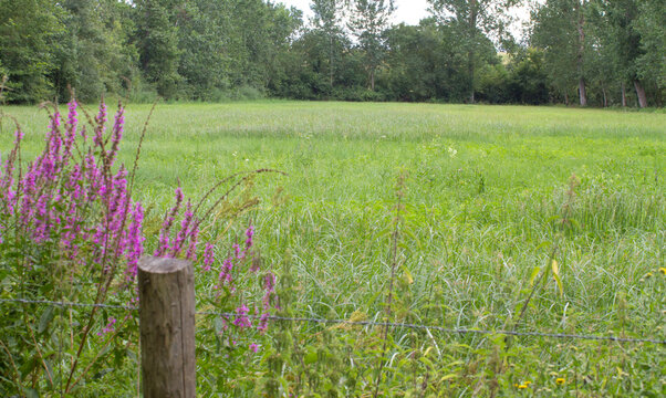 loosestrife flowers in humid meadow for local biodiversity, panorama