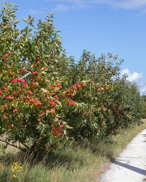 pathway by wild apple trees loaded with red apples, Europe