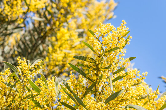 closeup of yellow acacia tree flowers in bloom against blue sky background with copy space