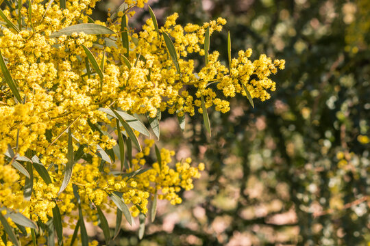 closeup of golden wattle tree with bright yellow flowers in bloom, blurred background and copy space