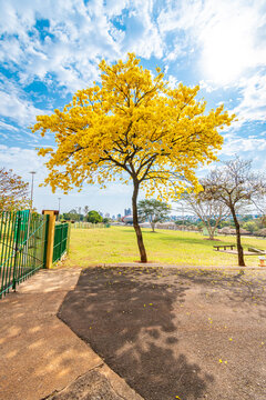 Beautiful yellow Ipe tree. Tree symbol of Campo Grande city at Park of the Indigenous Nations.