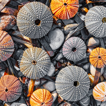 collection of sea urchins on pebble and seaweed natural background, filtered image