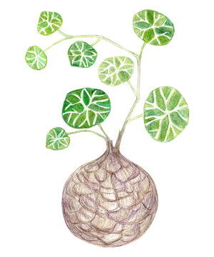Stephania erecta caudex plant, branch with leaves. Illustration with colored pencils.