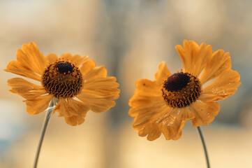 Obraz Dzielżan jesienny Helenium - fototapety do salonu