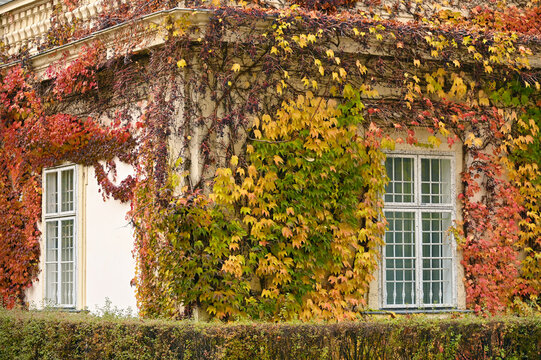 old house wall with rustic wooden windows and creeper in Vienna autumn season