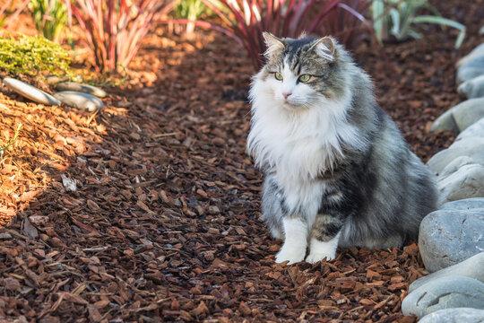 closeup of a longhair tabby cat sitting on bark mulch in formal garden