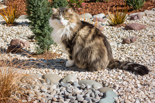 longhair tabby cat sitting on white pebbles in rock garden with blurred background and copy space