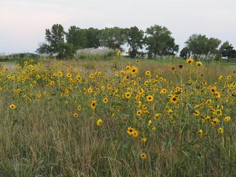 Field of Kansas sunflowers.