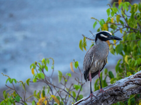 Bird wildlife with Night Heron  - Caribbean, Curacao
