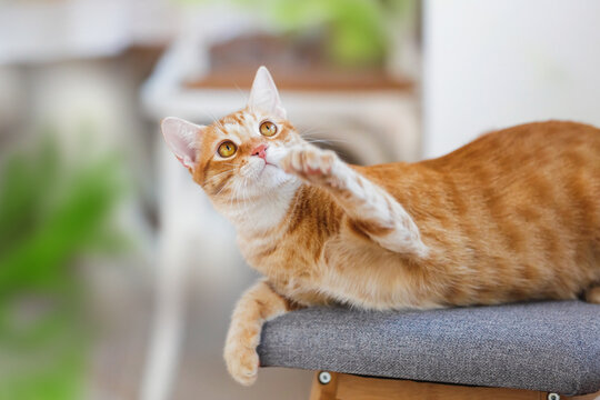 Playful  ginger cat lying on the armchair and raised its front paw up. Selective focus, copy space