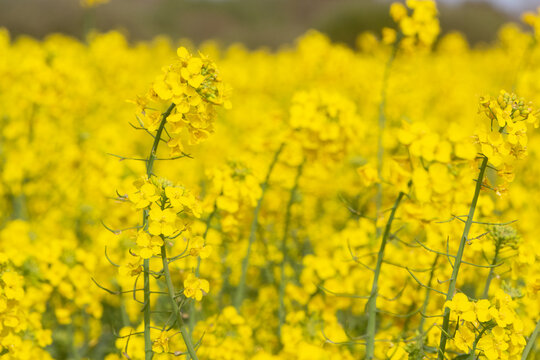 Field of canola in Brittany during spring