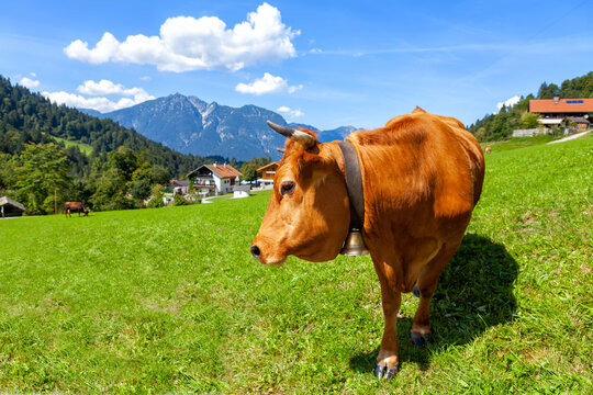 A healthy young cow grazes on a mountain meadow