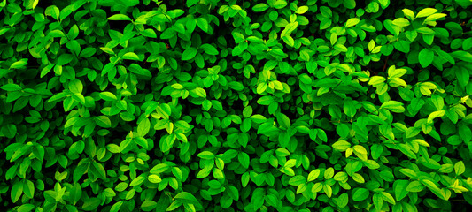 Obraz Close up 20:9 horizontal banner shrub,small round foliage,deep bright green shades.Texture for photo,desktop wallpapers,smartphone screen.Natural leaves carpet .Leaf cover design,eco-friendly pattern - fototapety do salonu