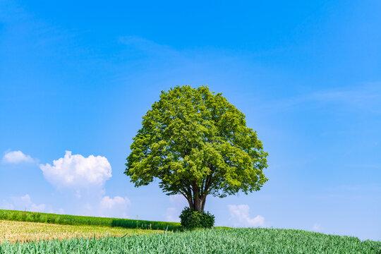 Einsamer Baum steht in Landschaft bei Ditzingen, Baden-Württemberg