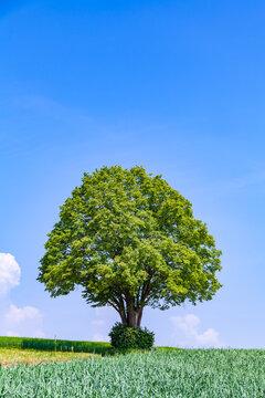 Einsamer Baum steht einsam im Feld